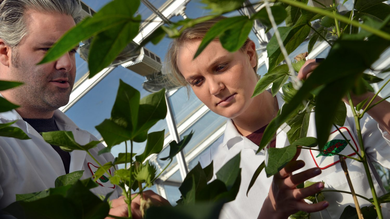 NC State researchers examine plants in a greenhouse.