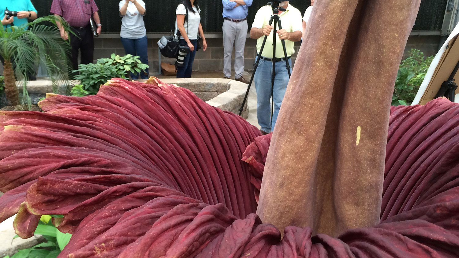 NC State corpse flower