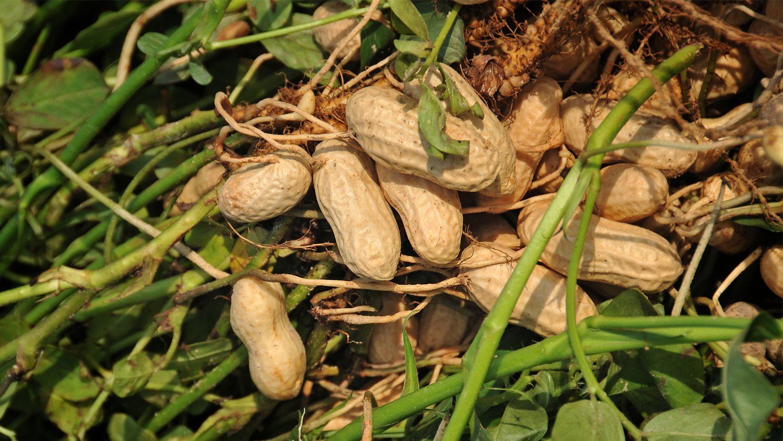 peanuts in field