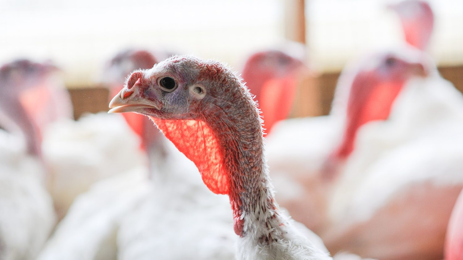 Close shot of a turkey in poultry building with white feathers.