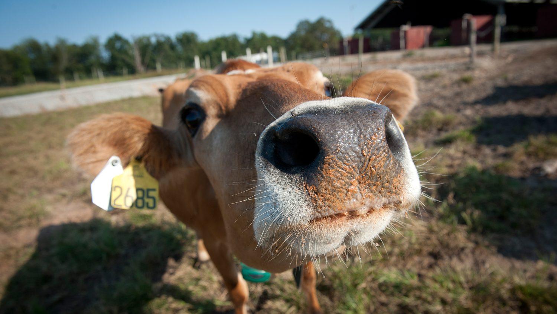 Cow peering into camera