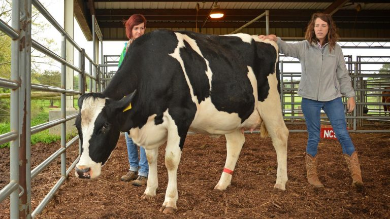 NC State students care for a cow at a university facility.