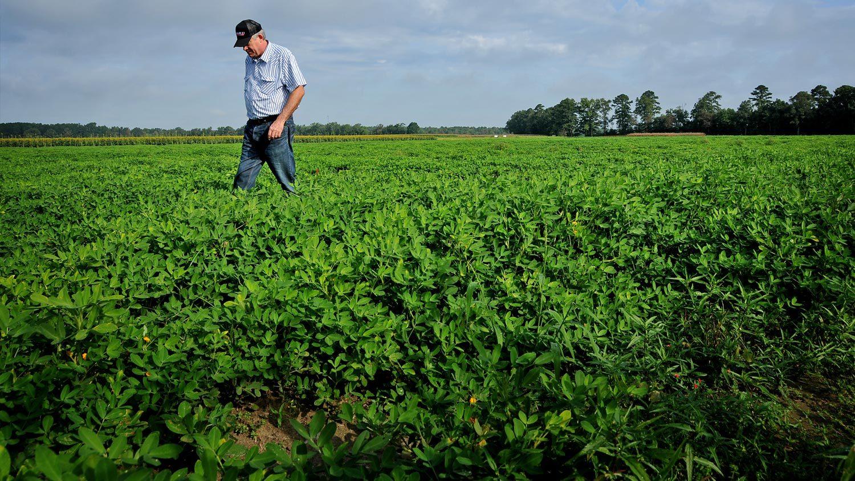 Bean farmer in field