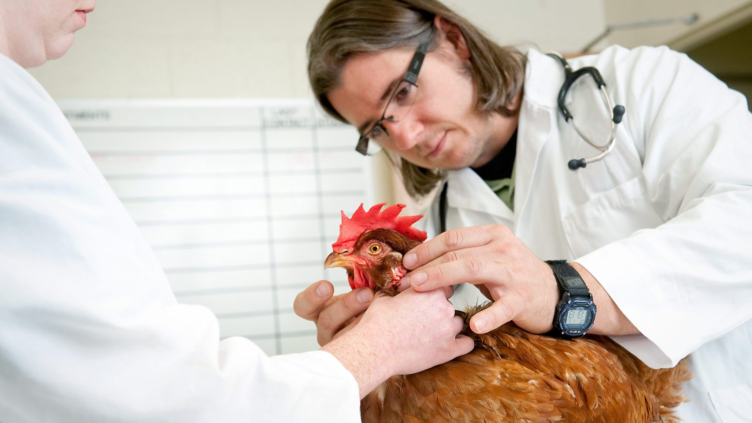 Veterinarians examine a chicken.