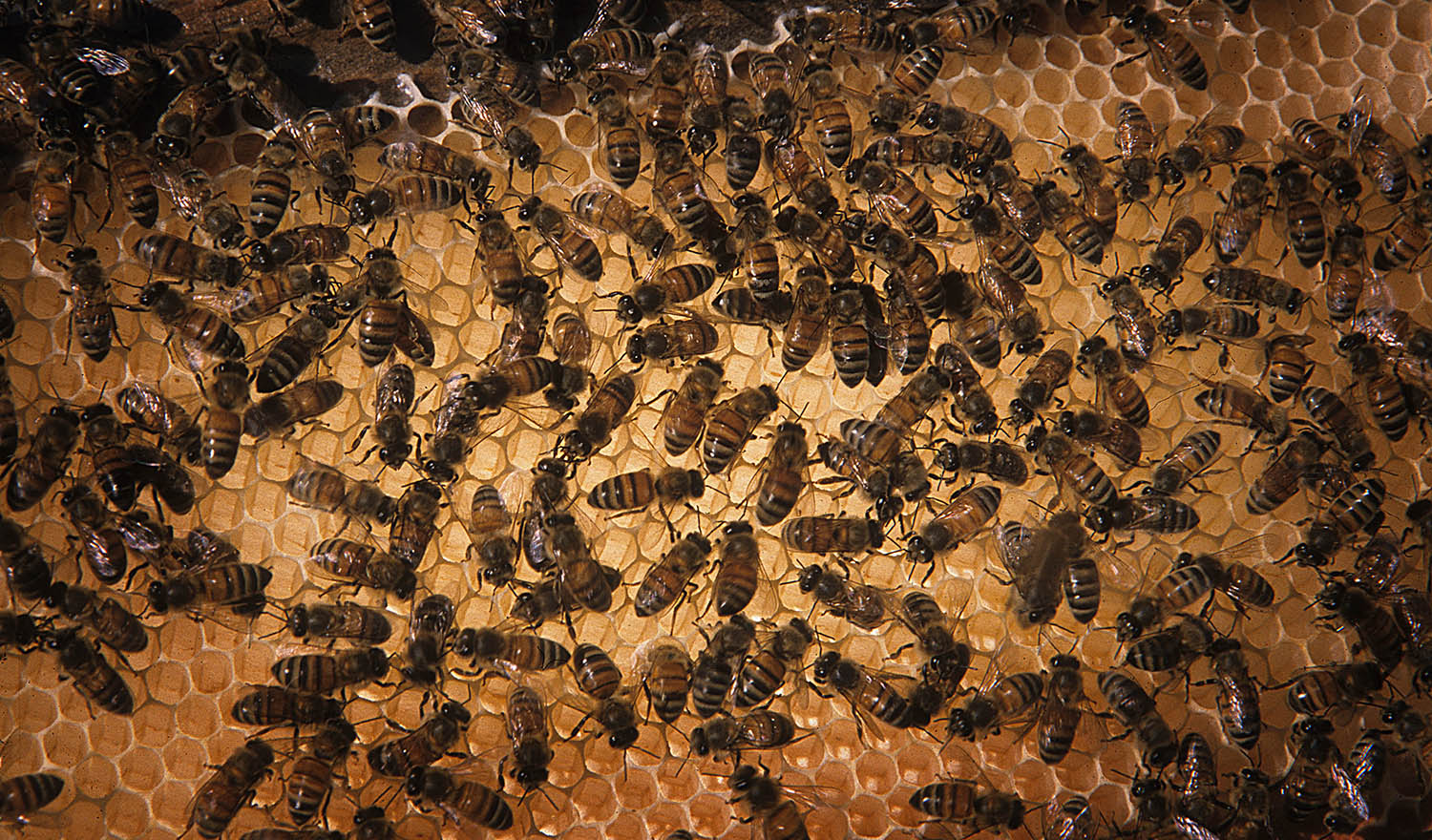 Honey bees working on a backlit honeycomb.