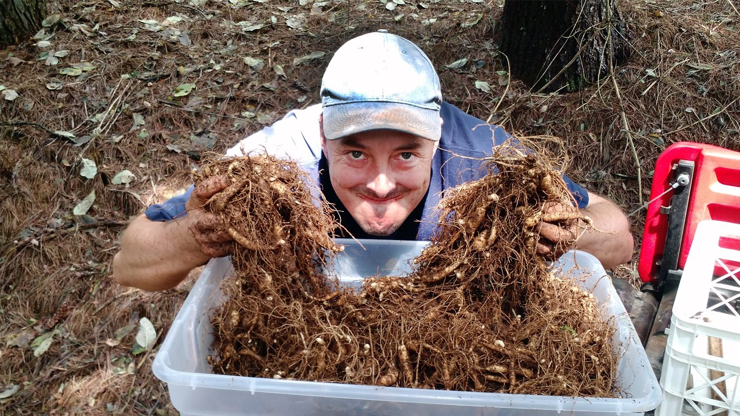 Watauga County NC Cooperative Extension Director Dr. Jim Hamilton poses with both hands full of harvested ginseng roots.