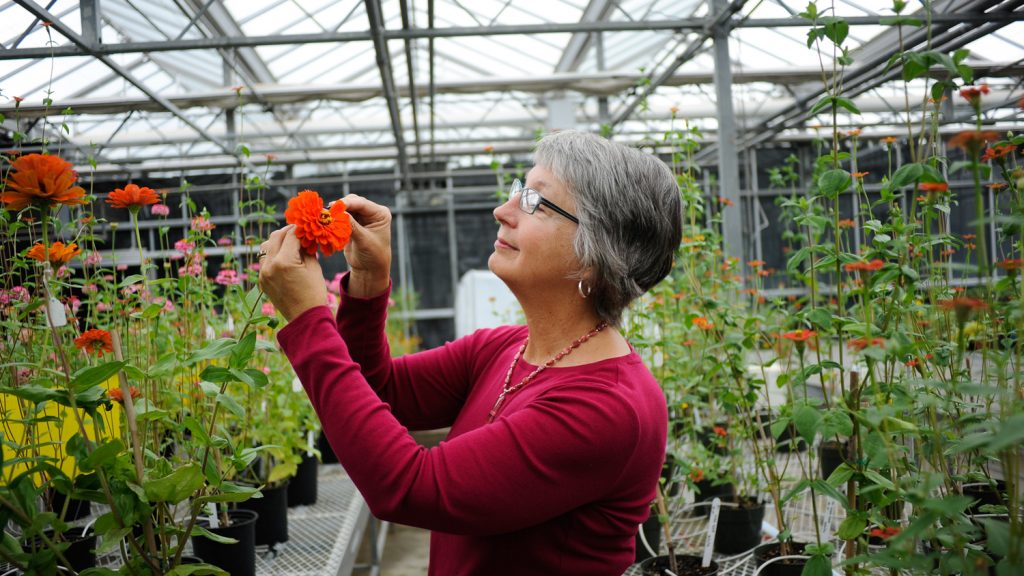 Julia Kornegay horticulture researcher prunes zinnias in the greenhouse at NC State University.