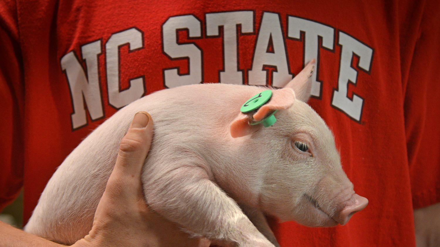 An NC State University student holds a small piglet.