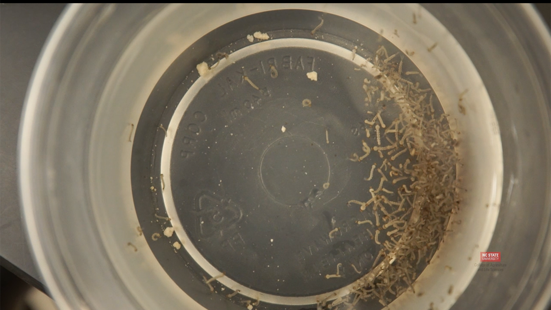 Mosquito larvae sample