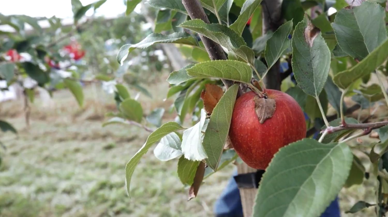 NC Apple Tree