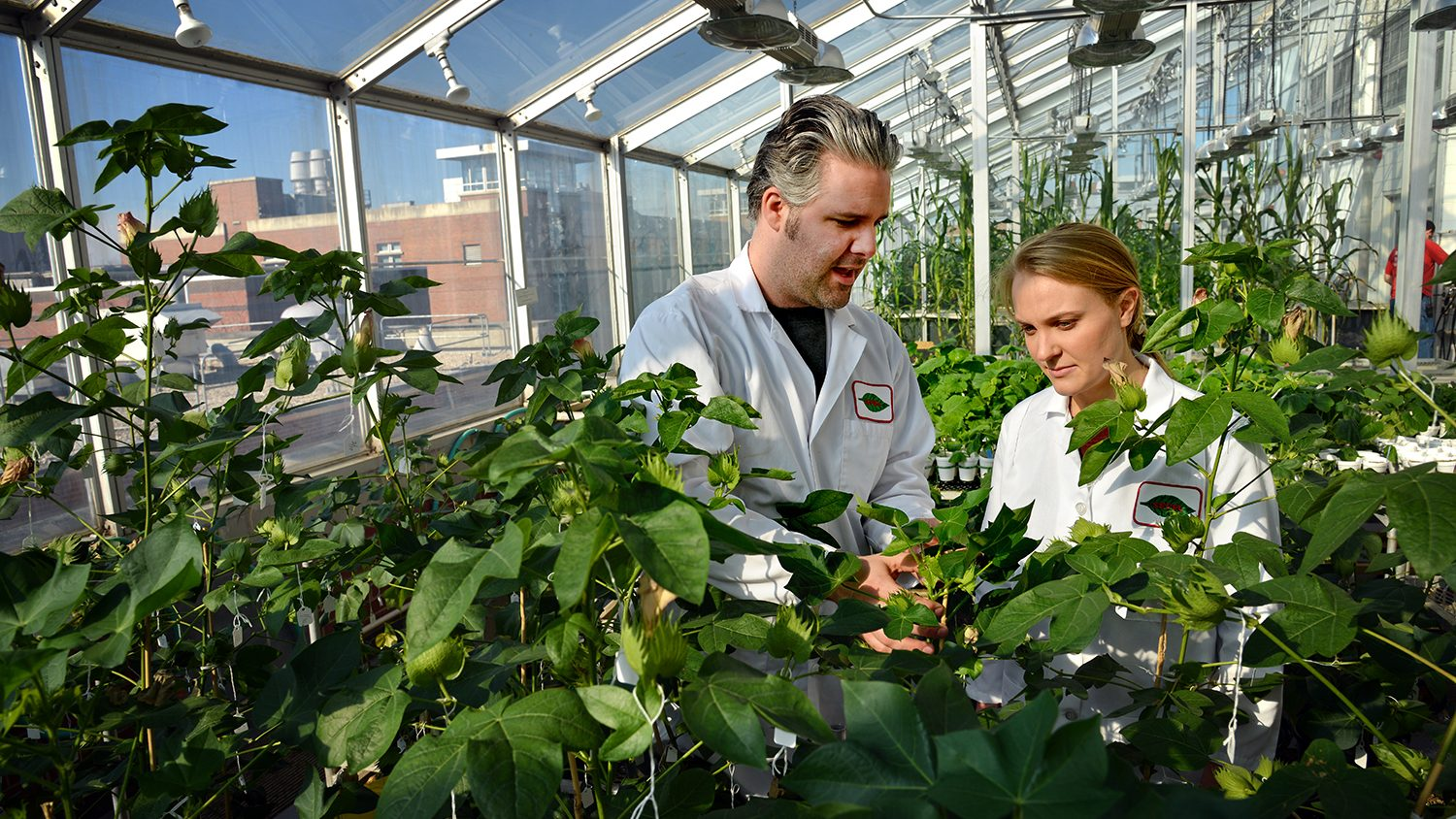 Undergraduate student (right) listens to a grad student explain cotton bolls in the Phytotron greenhouse.