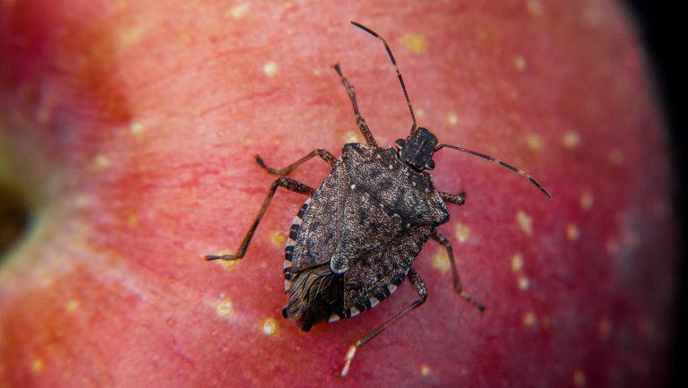 Brown marmorated stink bug on apple