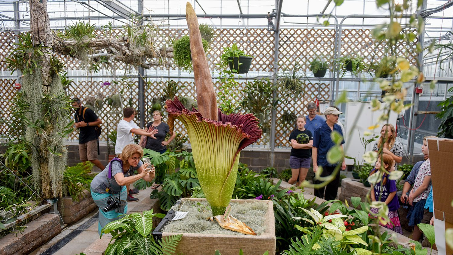 NC State corpse flower in bloom