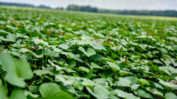 Field of sweet potato plants