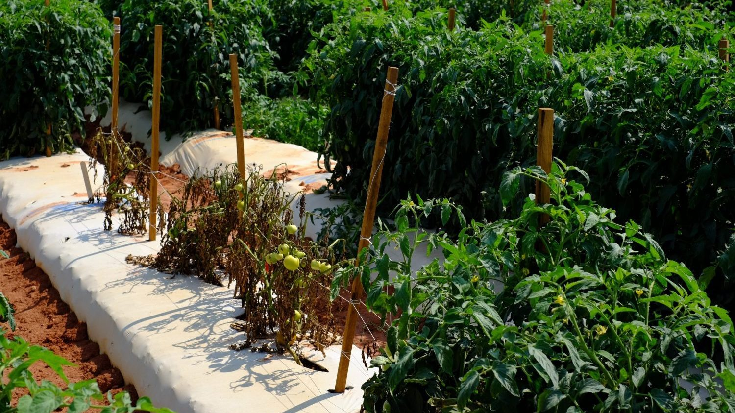 Healthy and unhealthy tomato plants in a research plot.