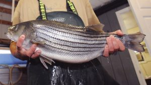 Hybrid Striped Bass at the Aurora Fish Hatchery in Jones County, N.C.