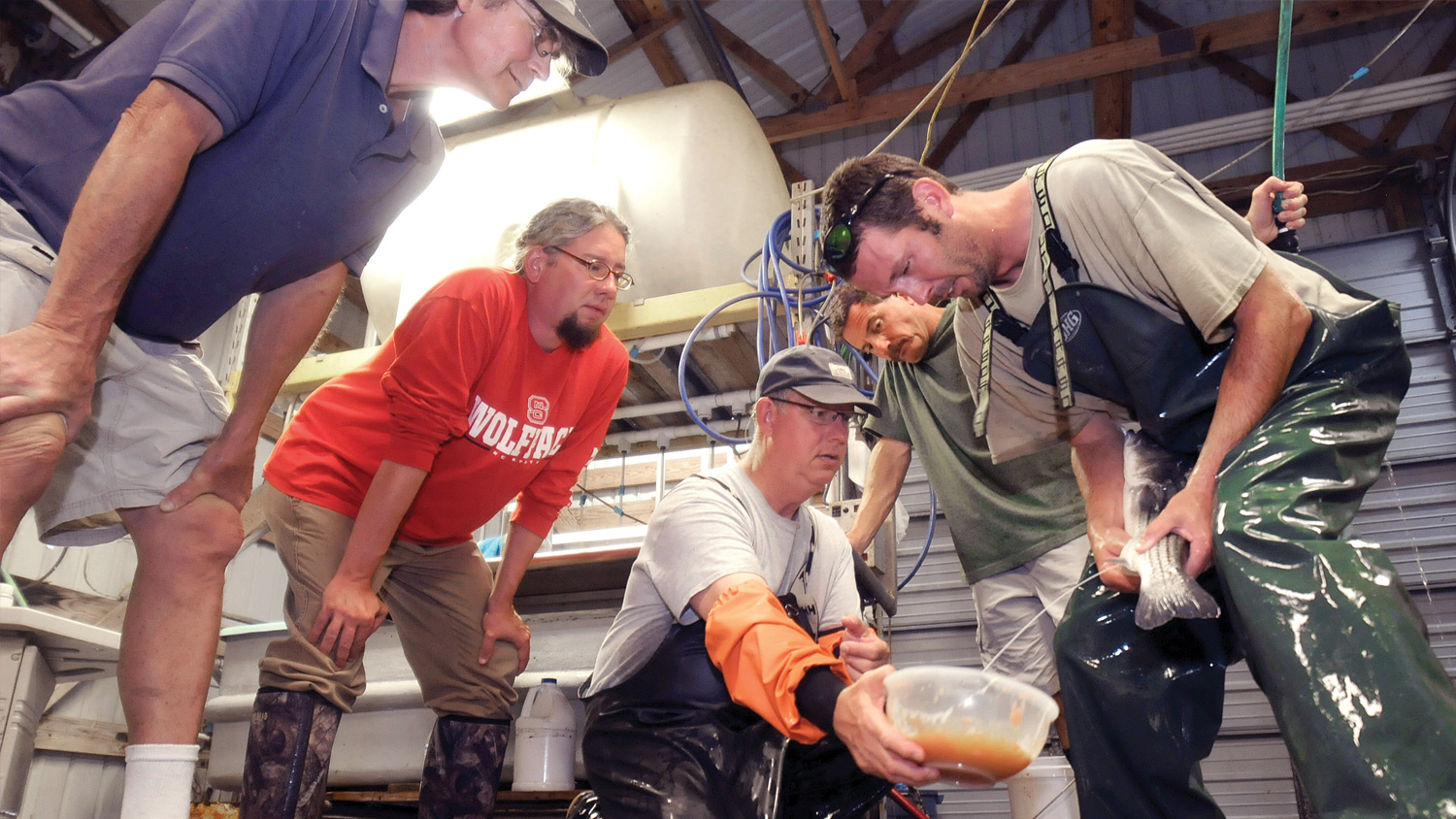CALS researchers harvest Striped Bass fry (eggs) at NC State's Pamlico Aquaculture Field Lab in Aurora, N.C.