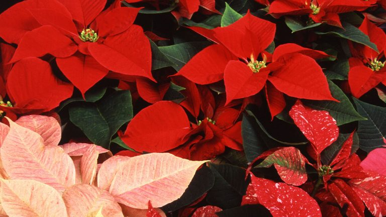 An array of poinsettias