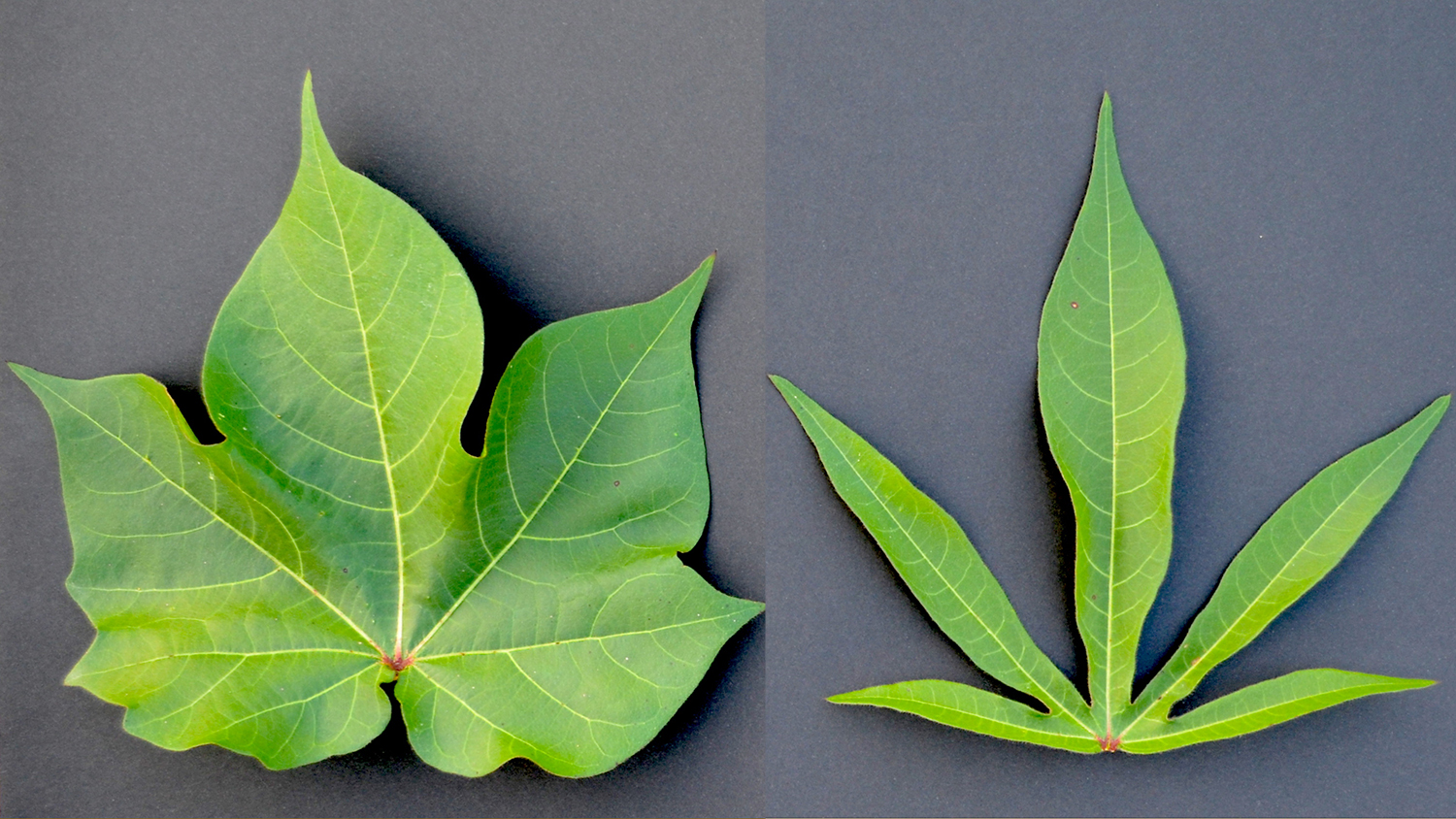 A broad 'normal' cotton leaf compared to an 'okra'-shaped cotton leaf.