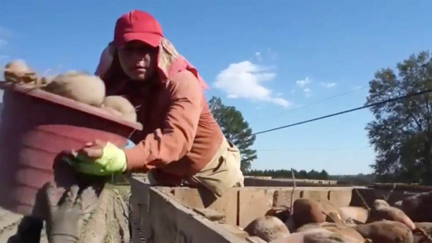 Man harvesting sweet potatoes from a farm field into a truck