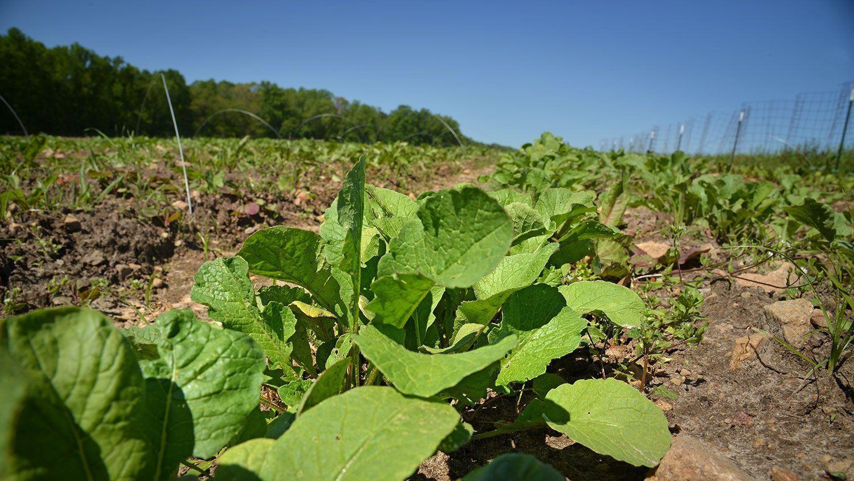 photo of radish crop