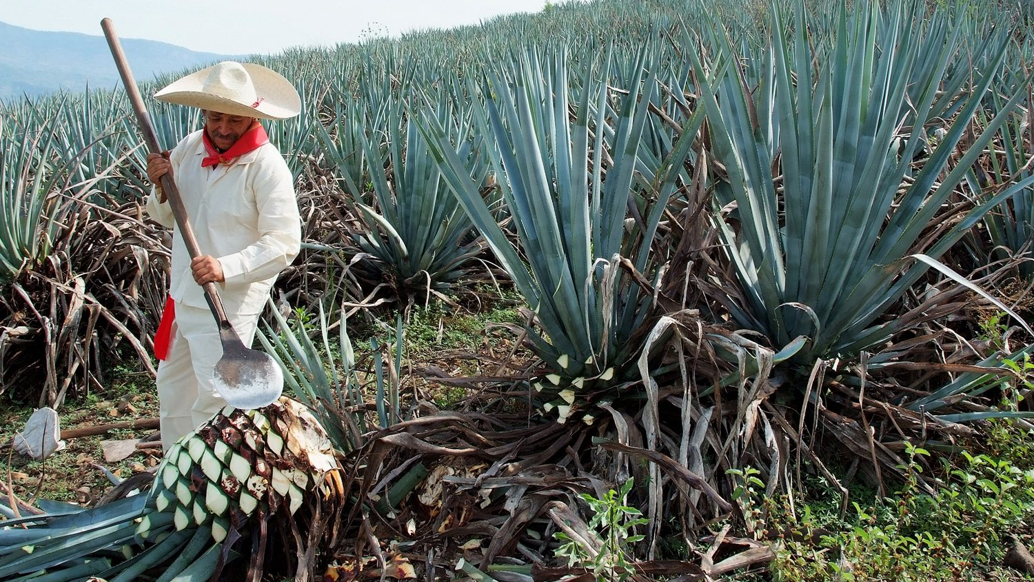 Mexican farmer at work in a field