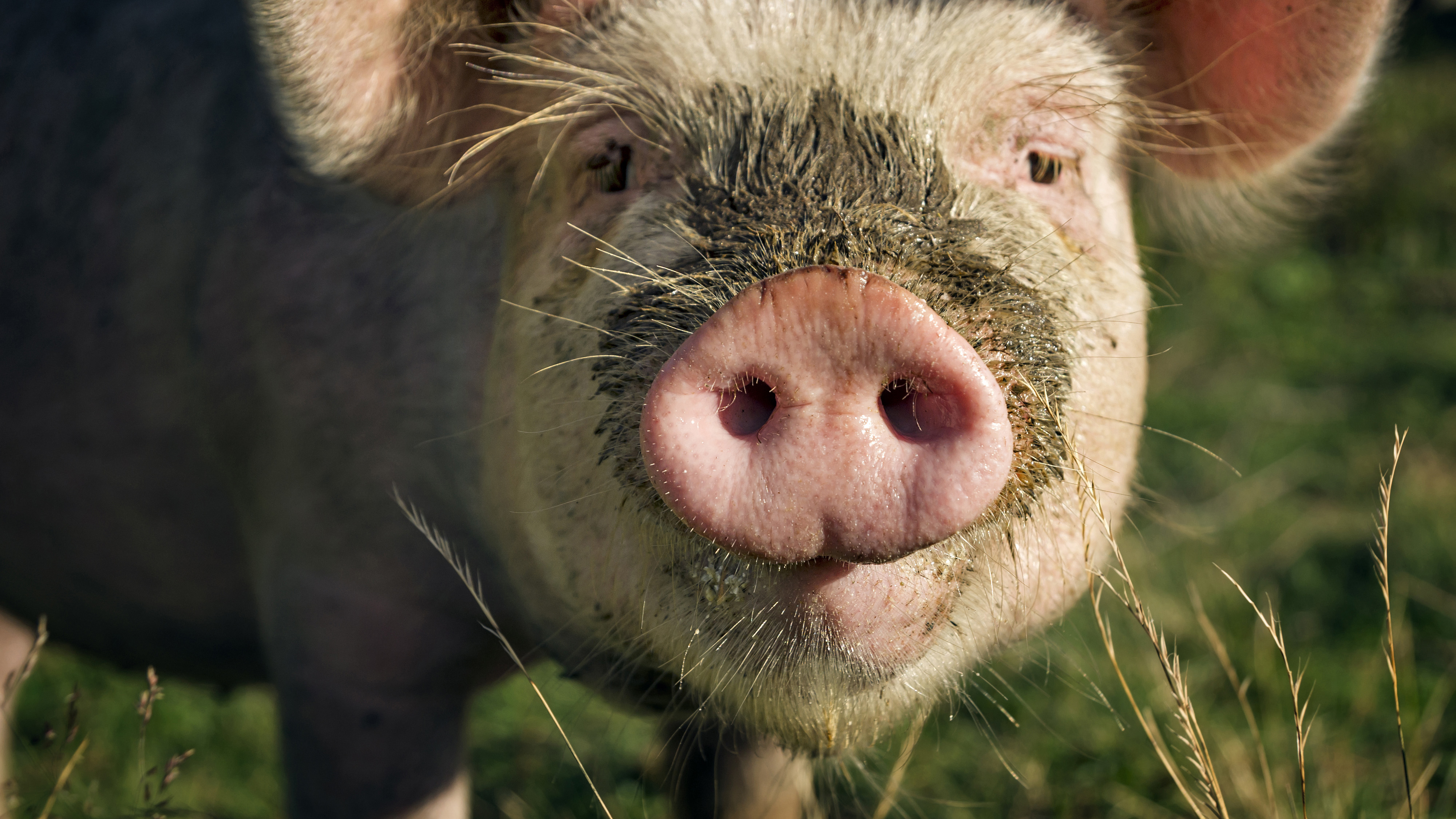 Close up photo of a pastured pig's face.