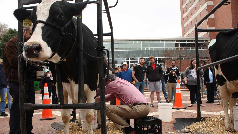 Associate Dean milking cow on the Brickyard