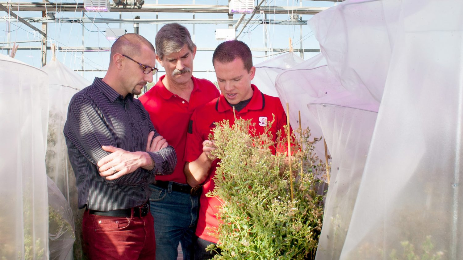 Three scientists looking at stevia in a greenhouse.