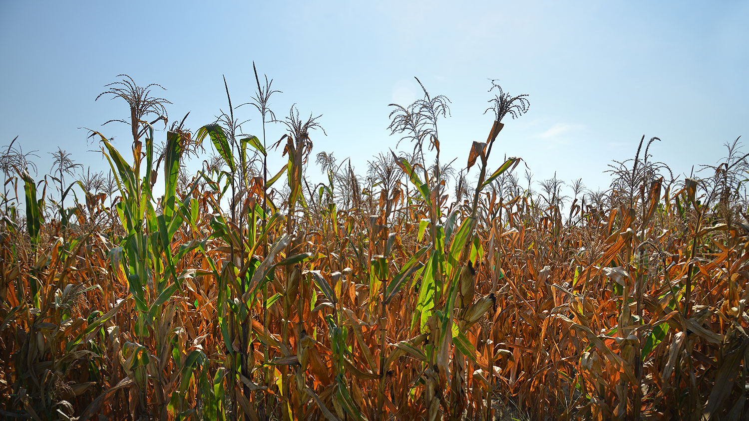 Photo of corn in the field