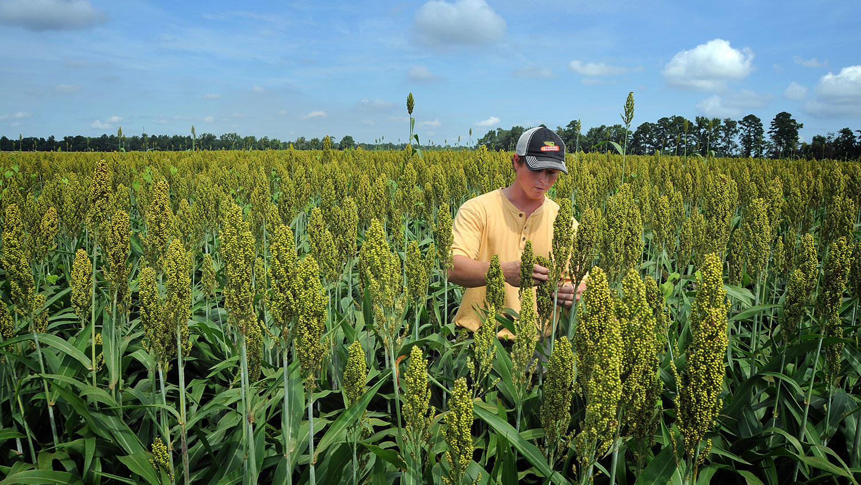 farmer in sorghum field