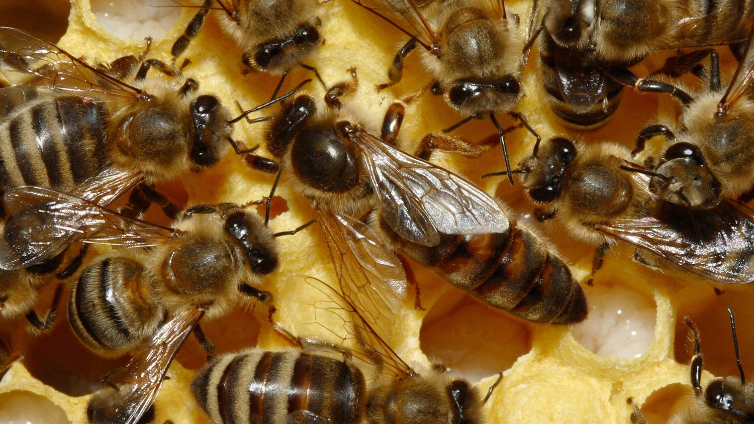 Queen bee surrounded by her other bees in her colony.
