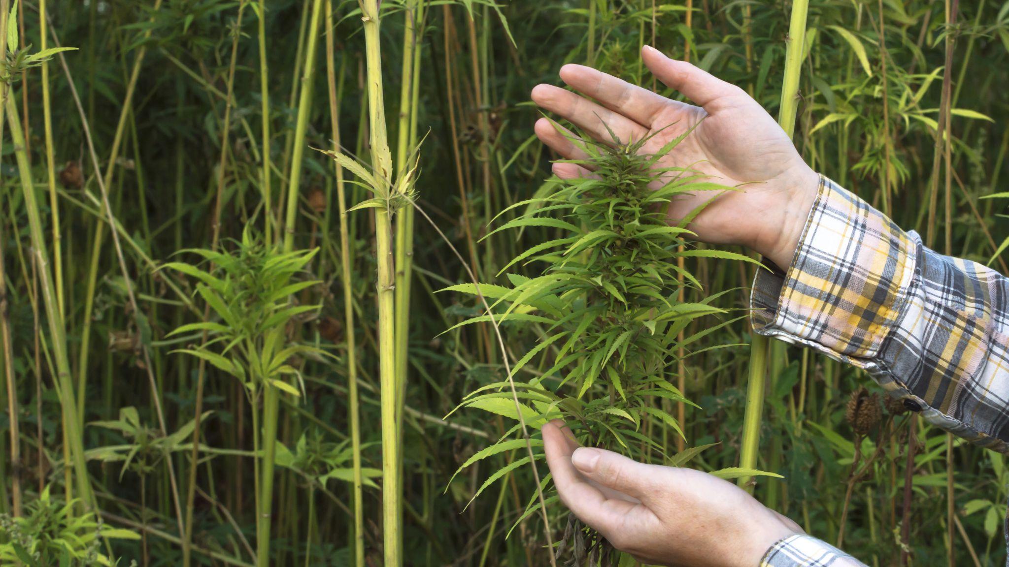 hands holding hemp plant