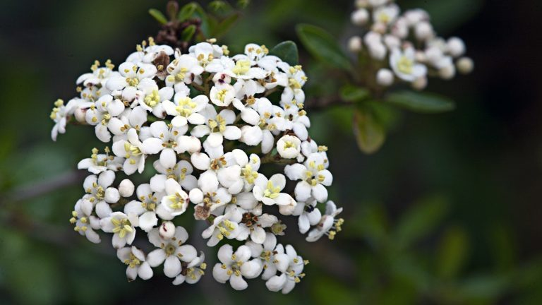 viburnum with clusters of small white flowers