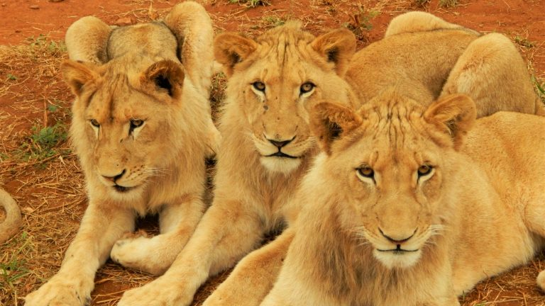 Lions-South Africa
