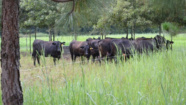 Black Angus cattle grazing amid trees.