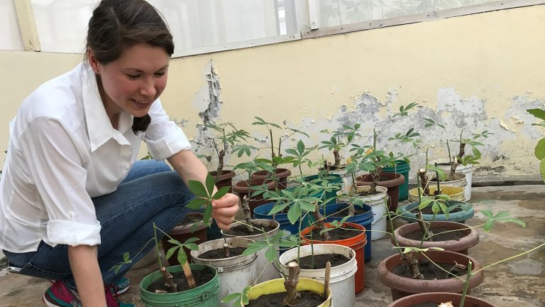 Woman with cassava plants in a greenhouse