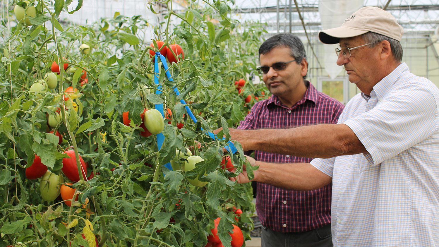 Two scientists look at tomatoes growing in a greenhouse.