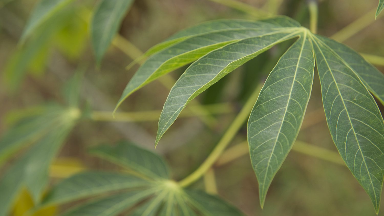 Healthy cassava leaves