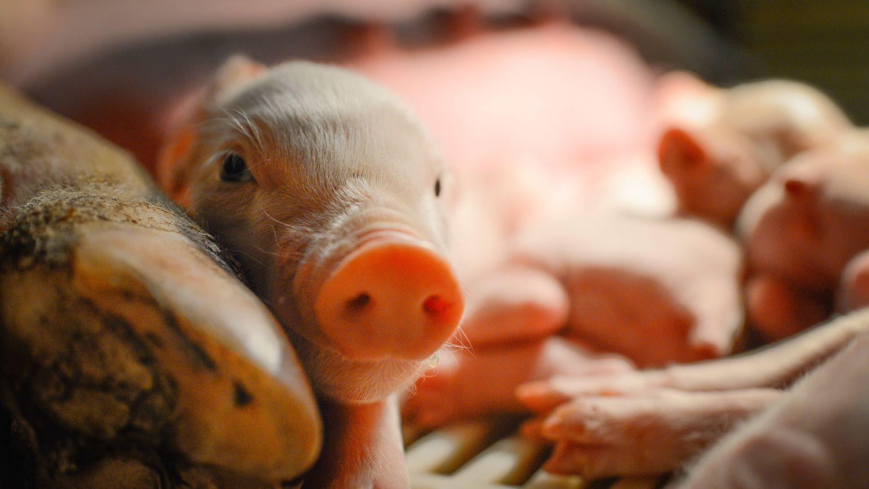 CALS Magazine Happy Piggy