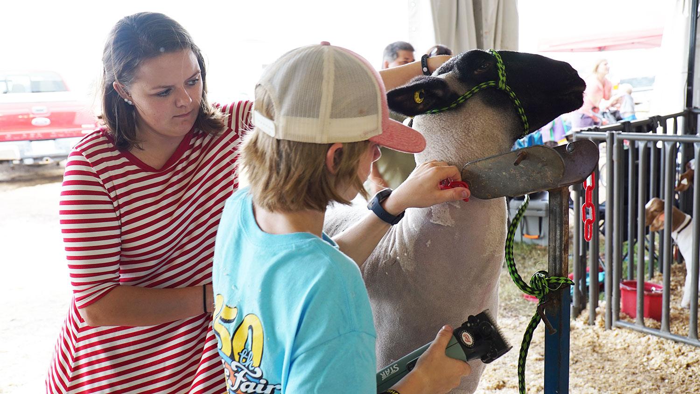 CALS student Rachel Brown helping a boy shear his sheep.