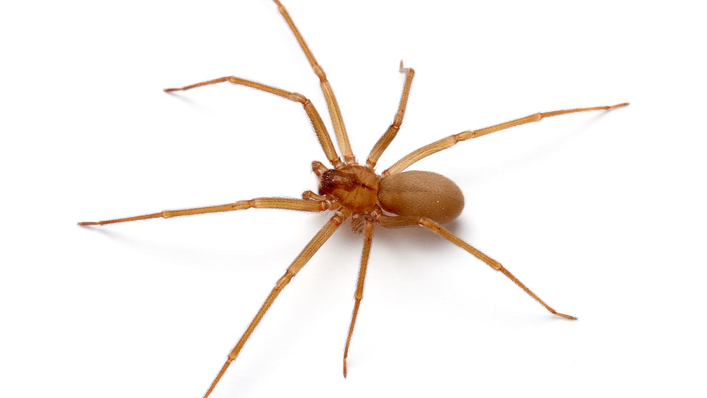 Venomous brown recluse spider found in 10 Michigan counties Brown recluse michigan pictures