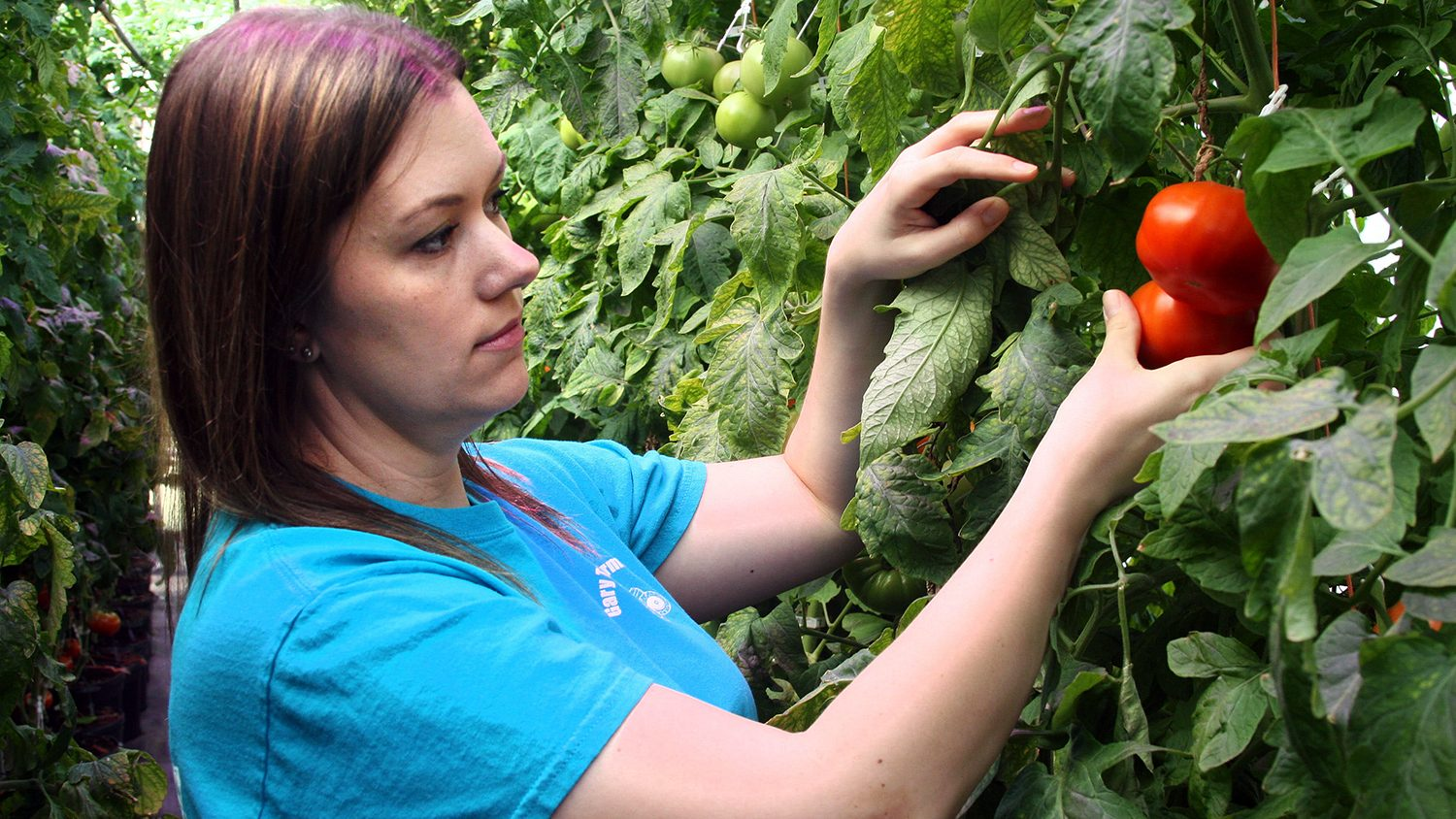 Mandy Thomas is one of Lee County Extension's Women in Ag, here picking a tomato.