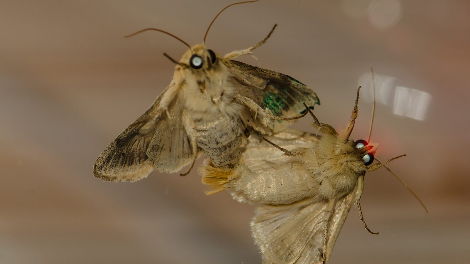 Two moths mating