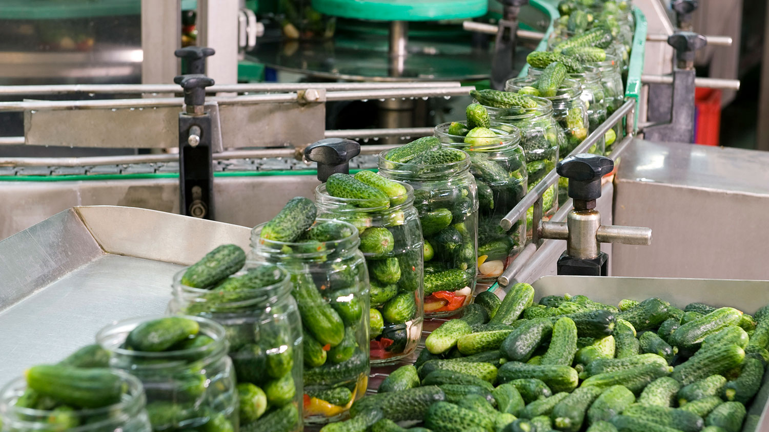 pickling cucumbers on a processing line