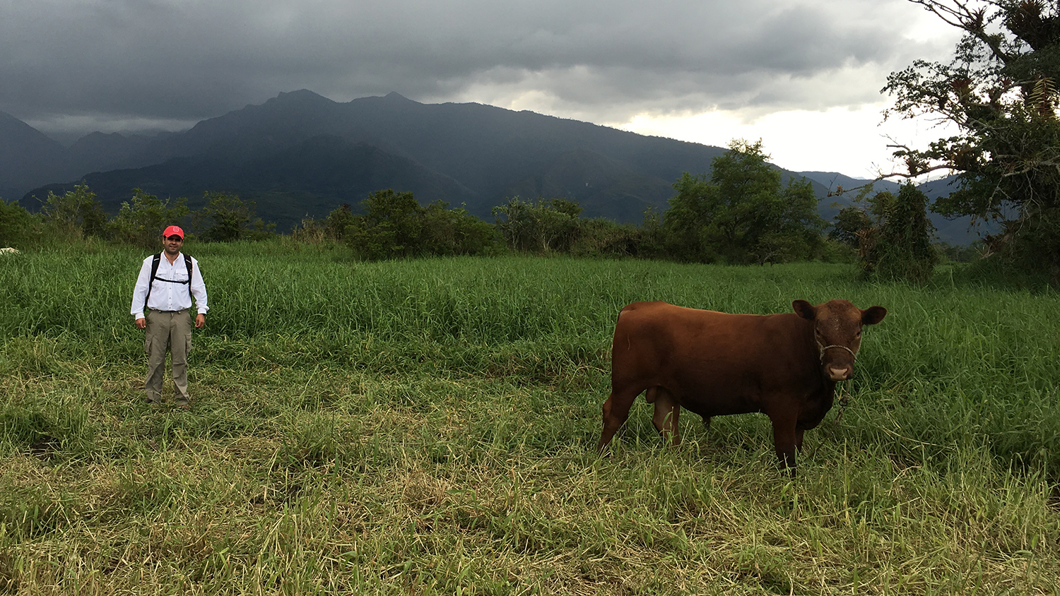 Cow and researcher in a pasture with grass and trees.