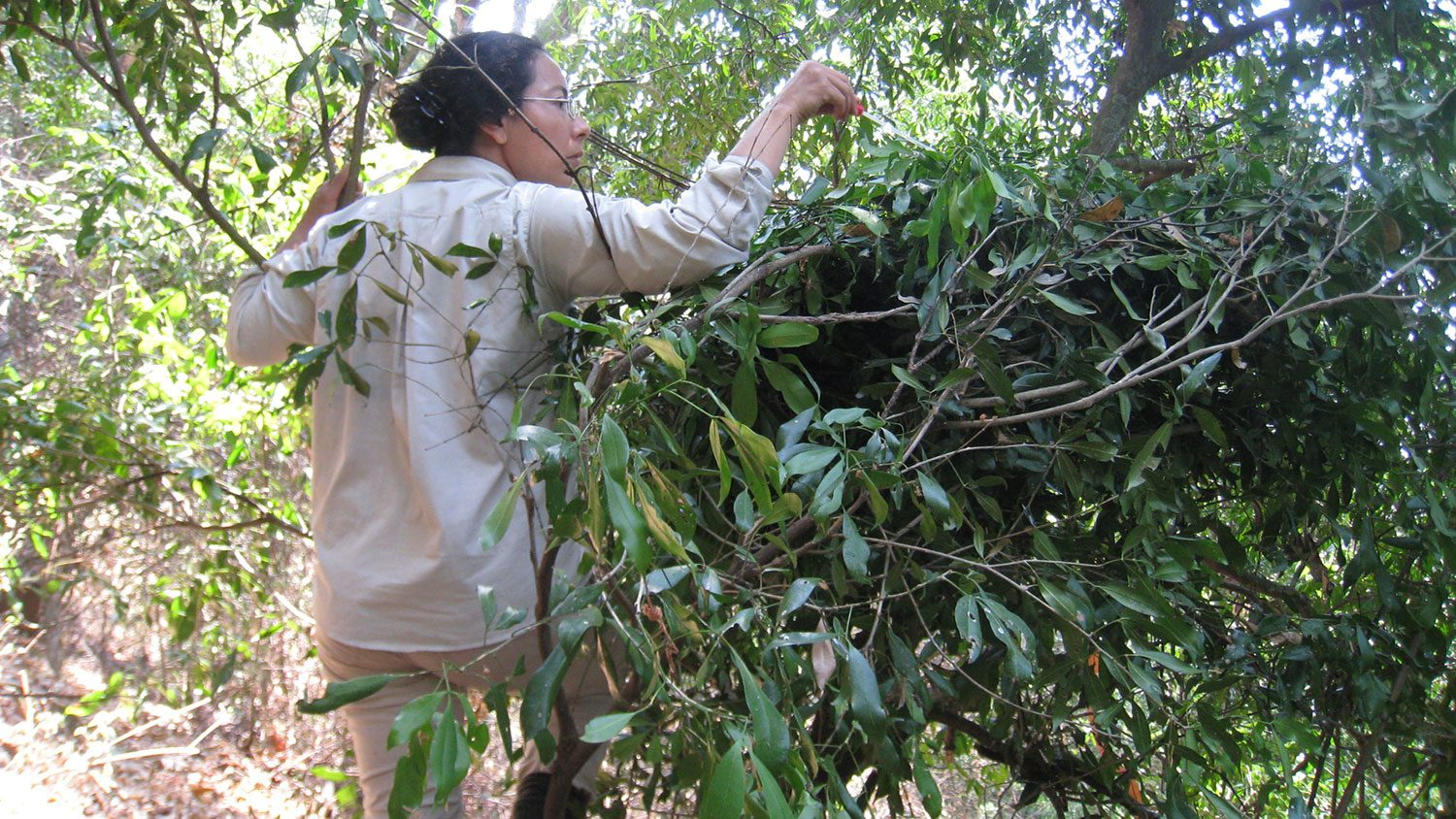 Adriana Hernandez-Aguilar swabbing leaf in nest for microbes.