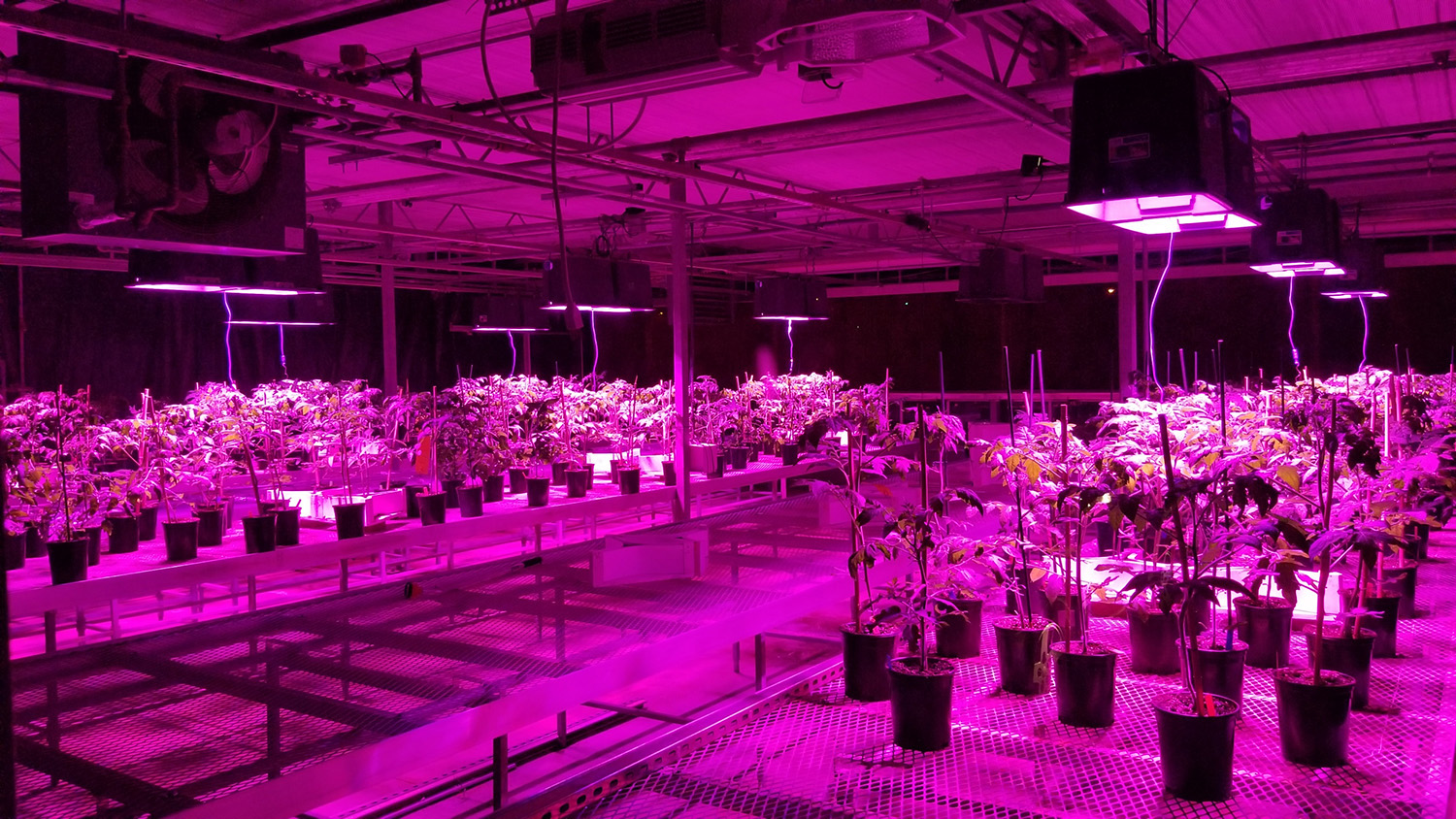 Purple light in greenhouse with tomato plants.