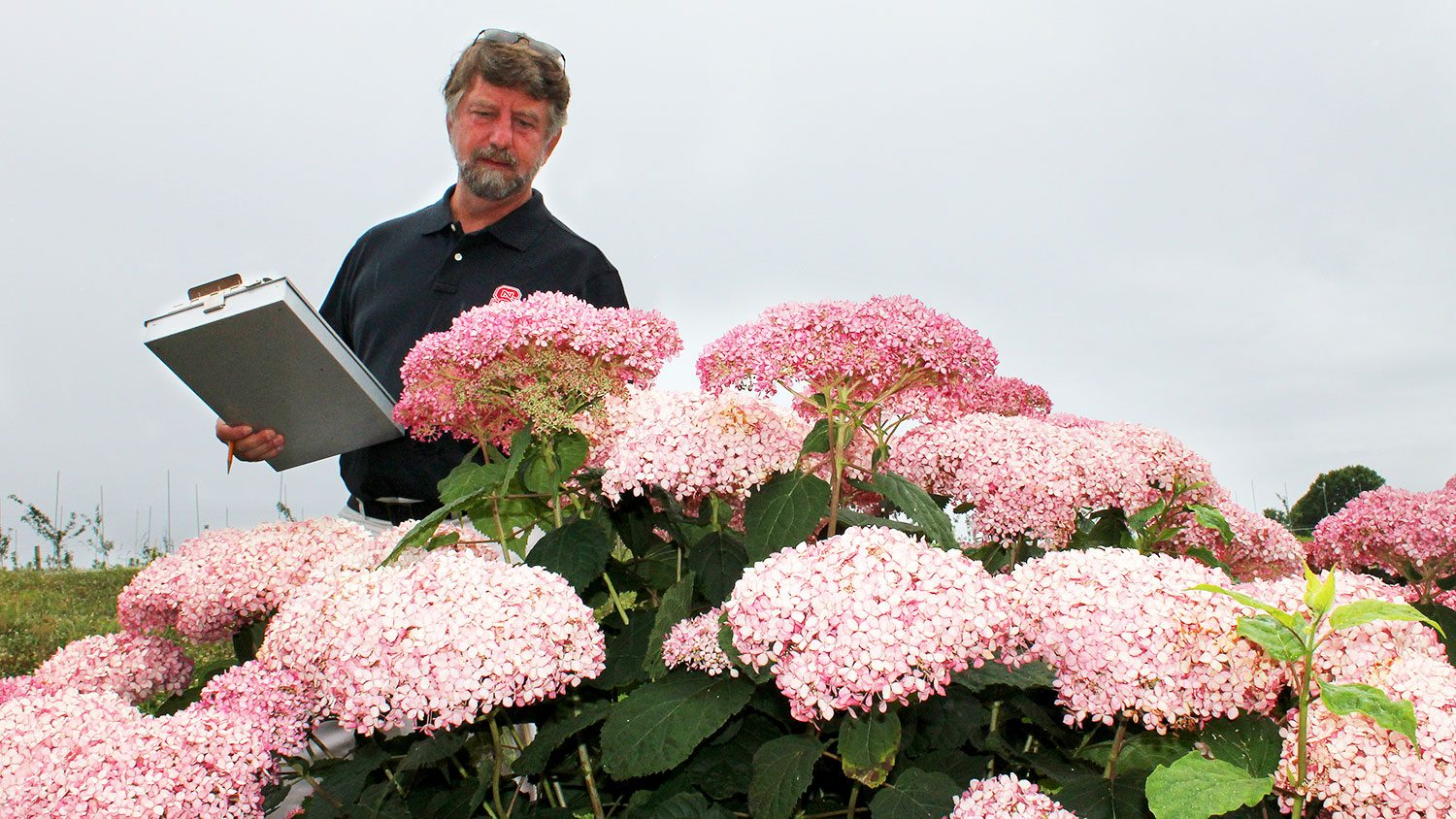 Man standing by hydrangea bush