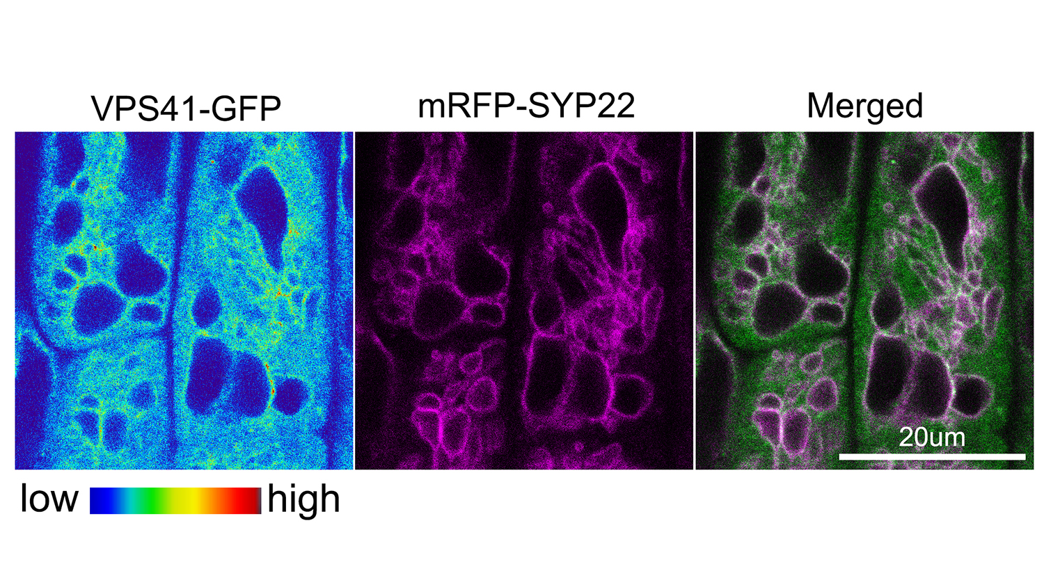 Accumulation of the HOPS subunit VPS41 at the vacuole membrane where it overlaps with the membrane marker SYP22.